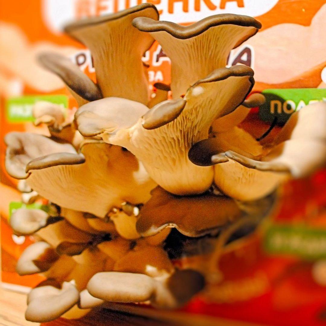 Набор для выращивания грибов Гриборобка Грибы из коробки