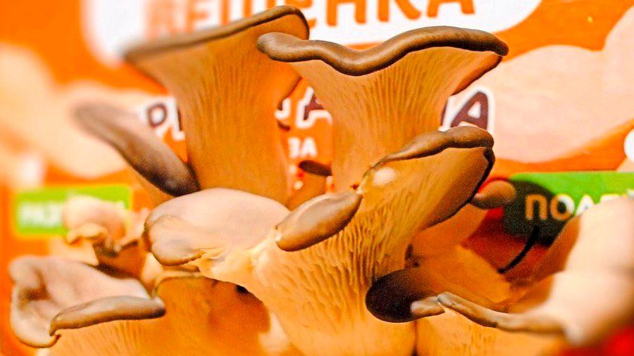 Набор для выращивания грибов Гриборобка