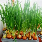 Установка для выращивания лука Луковое счастье